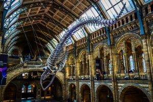 A whale skeleton in National history museum London