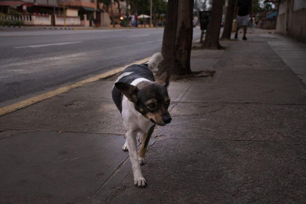 Stray dogs - intersting thing Cuba