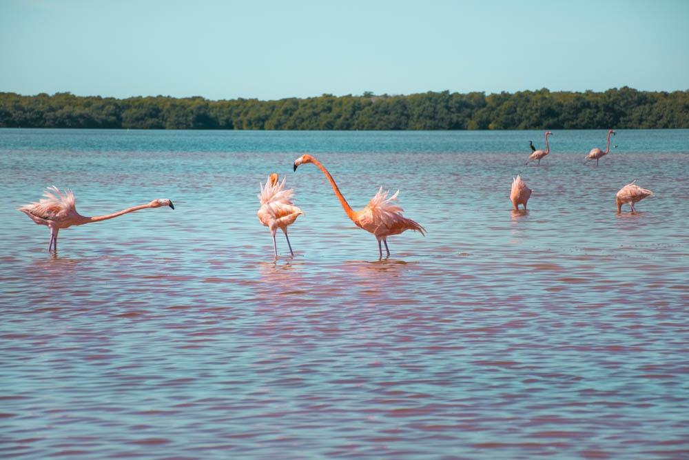 Flamingos fighting in Celestun Lagoon (One month Mexico Itinerary)