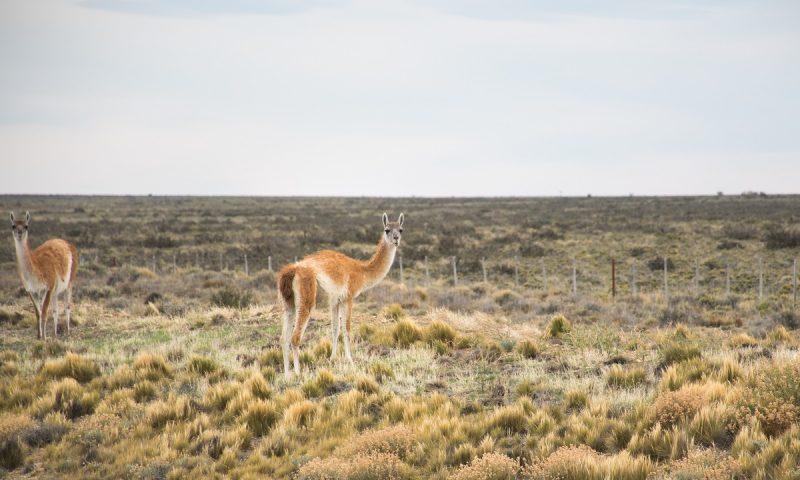 Nasveti za Argentino naslovna slika - guanaco