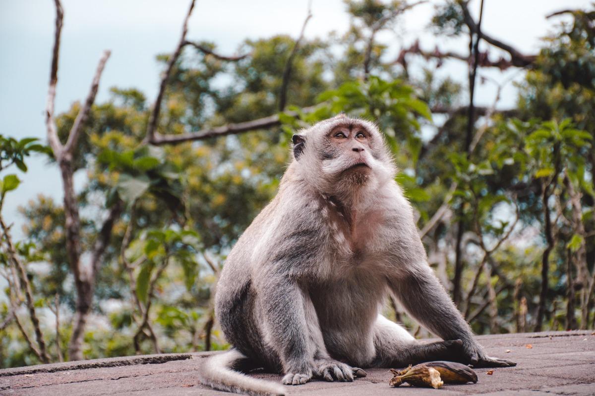 Velika siva puhasta opica na Baliju
