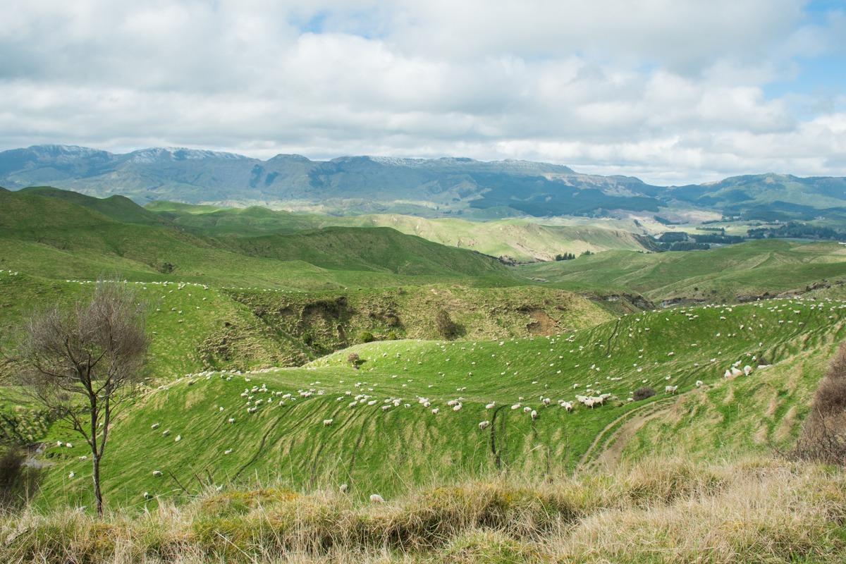Zeleni hribčki z belimi ovčkami (Potepuški nasveti za Novo Zelandijo)